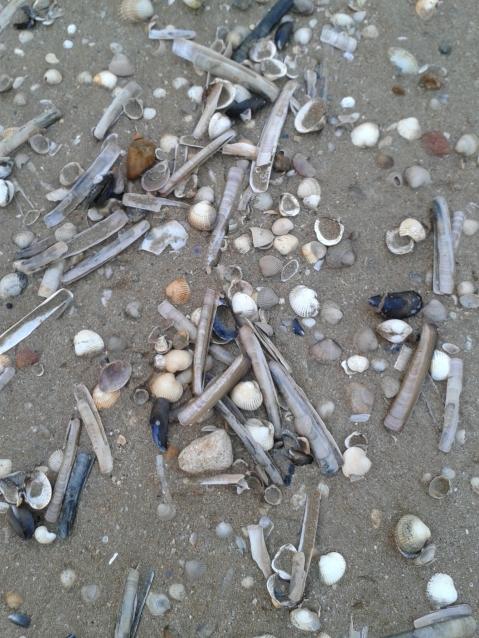 Coquillages 2, plage de Cabourg en février 2016